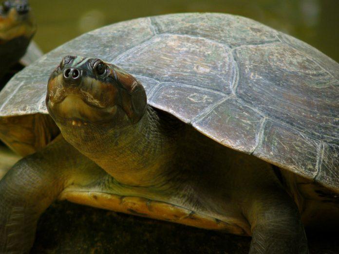 La tortuga Arrau